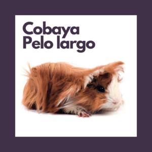 Cobaya Pelo Largo